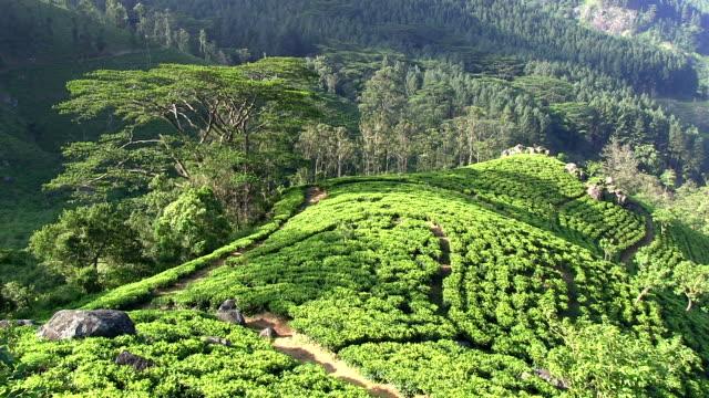 organic tea crop plantation sri lanka