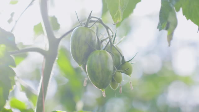 vídeos de stock e filmes b-roll de organic tomatoes on a vine - ramo parte de uma planta