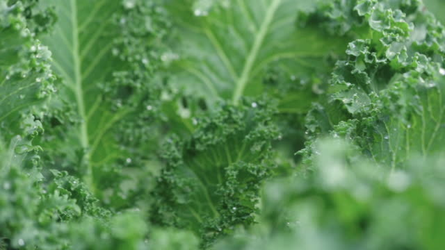 organic vegetable - butter lettuce stock videos & royalty-free footage