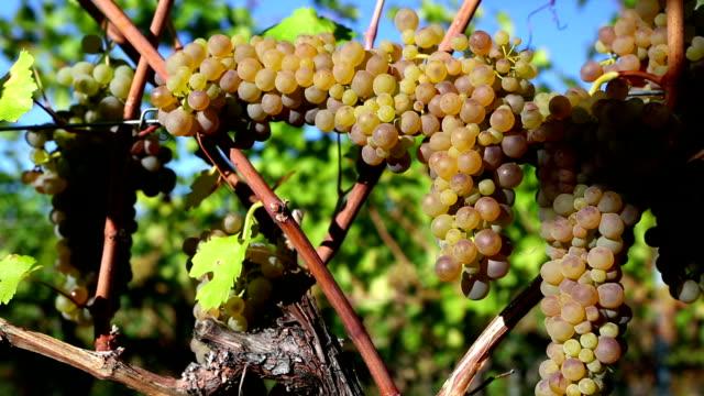 Organic Uva Viognier