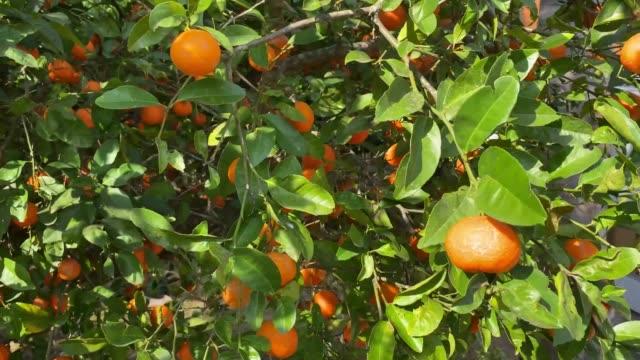木の中の有機黄色のレモン。 - ライム点の映像素材/bロール
