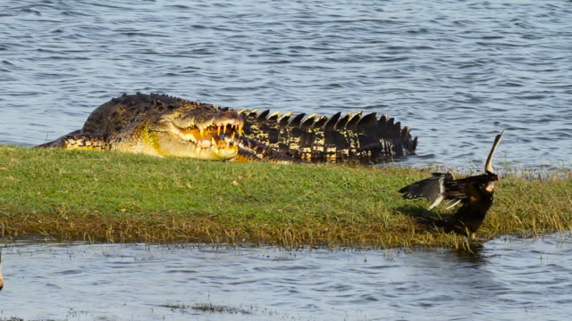 oriental darter stands next to large crocodile, sri lanka. - drying stock videos & royalty-free footage