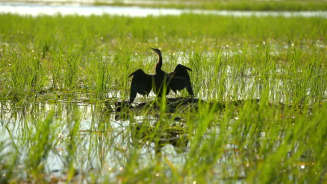 oriental darter - freshwater stock videos & royalty-free footage