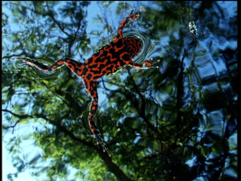 vídeos de stock e filmes b-roll de oriental fire bellied toad floats on surface of pond and eats fly - sapo