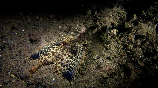 oriental flying gurnard swimming on the sand - sea robin stock videos & royalty-free footage