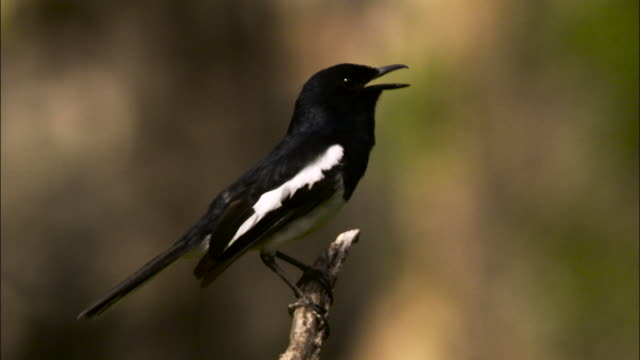 oriental magpie robin, malaysia. - taking off stock videos & royalty-free footage