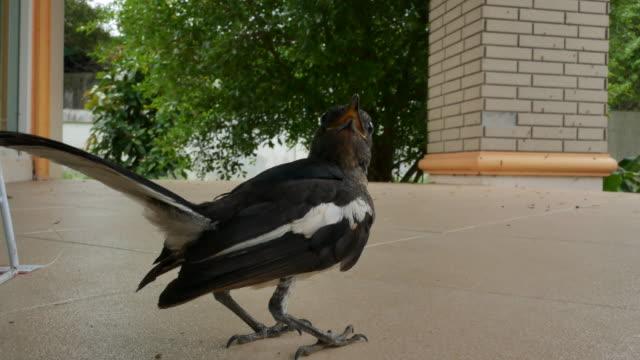 oriental magpie robin (copsychus saularis) - elster stock-videos und b-roll-filmmaterial