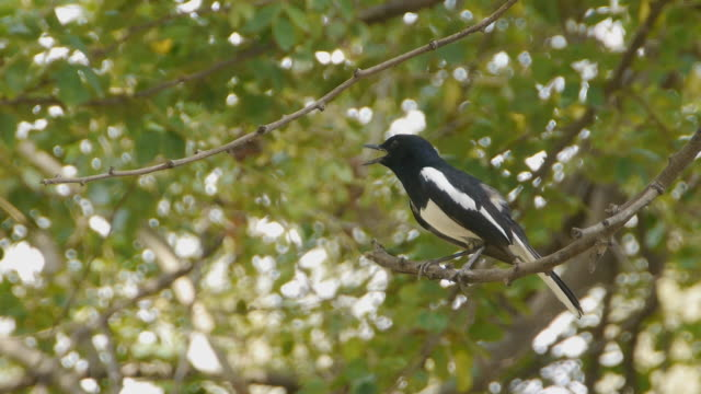 oriental magpie robin - audio available stock videos & royalty-free footage