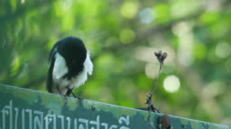 Oriental magpie-robin cleaning its chest