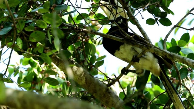 Oriental pied hornbill in the nature, slow motion