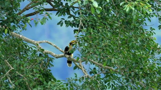 oriental pied hornbill (junge hornbill) auf dem baum im wald, slow-motion - young animal stock-videos und b-roll-filmmaterial