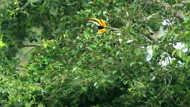 森林、スローモーションでツリーを東洋のパイド サイチョウ - 最大点の映像素材/bロール