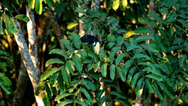 vídeos de stock e filmes b-roll de oriental pied hornbill on the tree in the forest, slow motion - bico