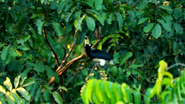 Oriental pied hornbill on the tree in the forest, slow motion