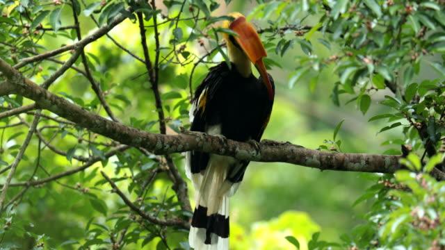 stockvideo's en b-roll-footage met oosterse bonte neushoornvogel op de boom in het bos - neerstrijken