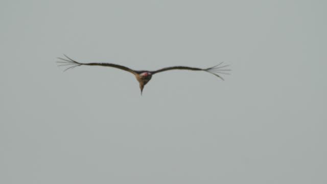 orientaler storch (ciconia boyciana) - khingan naturschutzgebiet - tierkörper stock-videos und b-roll-filmmaterial