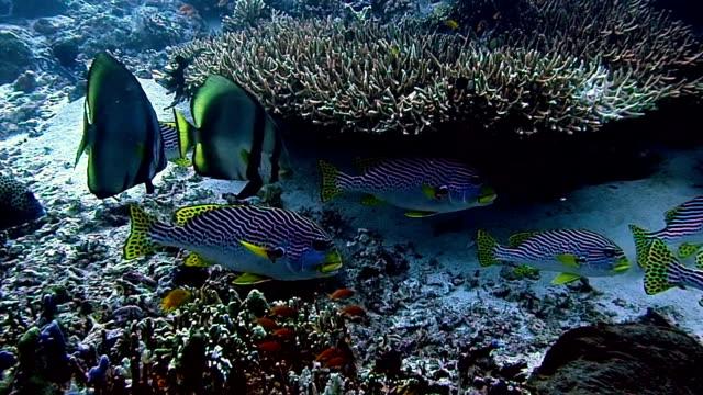 oriental sweetlips and batfish - sweetlips stock videos & royalty-free footage
