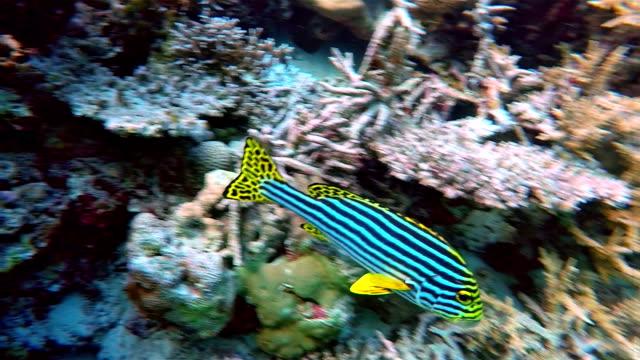 oriental sweetlips on coral reef - maldives - ari atoll stock videos & royalty-free footage