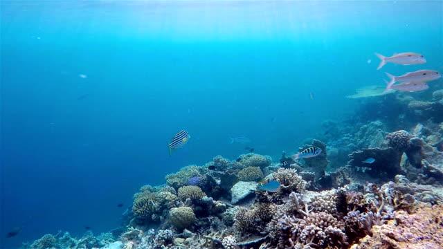 oriental sweetlips on maldives - south ari atoll - ari atoll stock videos & royalty-free footage