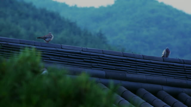 oriental turtle dove and rock pigeon on the tiled roof of hwaeomsa temple / gurye-gun, jeollanam-do, south korea - kleine gruppe von tieren stock-videos und b-roll-filmmaterial