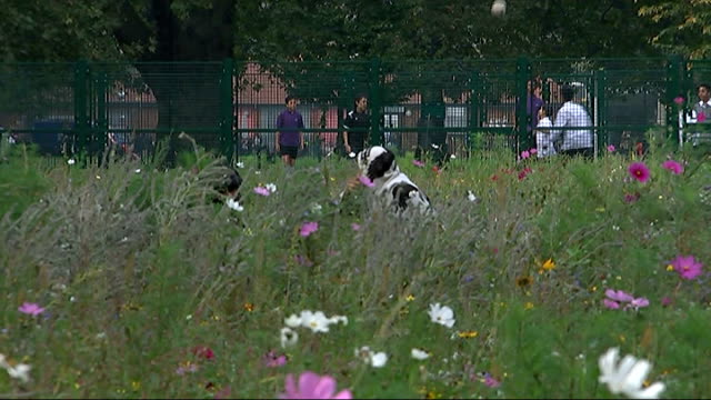 origins of term 'indian summer'; england: london: flowers in park with boys playing football in background close shot bee collecting pollen on flower... - indischer subkontinent abstammung stock-videos und b-roll-filmmaterial