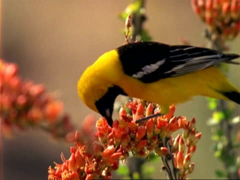 cu oriole feeding on flowers, usa - pollination stock videos & royalty-free footage
