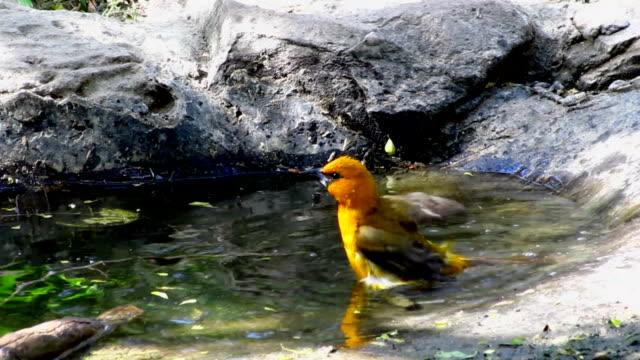vídeos y material grabado en eventos de stock de oriole de tomar un baño - baño para pájaros