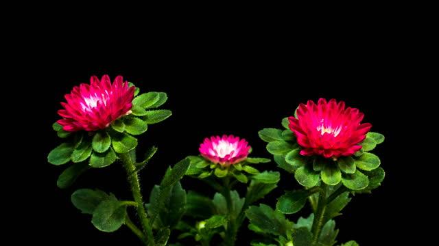 ornamental aster blooming / gyeonggi-do, south korea - 生い茂る点の映像素材/bロール