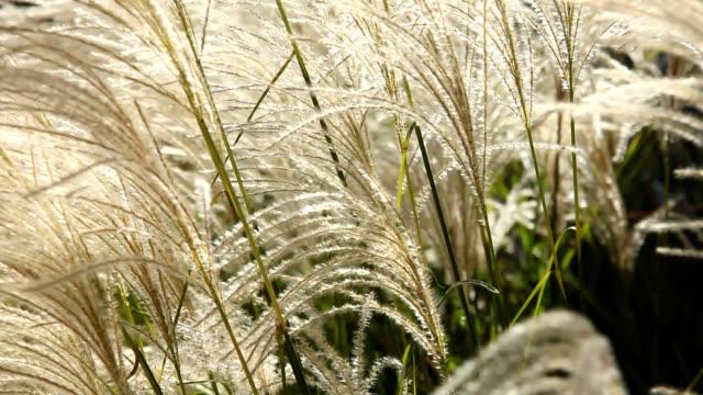 Ornamental grass blowing in wind