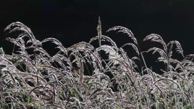 stockvideo's en b-roll-footage met ornamental pink grass with morning drew in wind - katoen