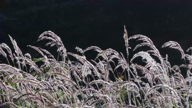 ornamental pink grass with morning drew in wind - 人間の舌点の映像素材/bロール
