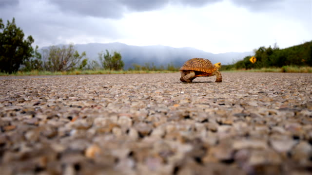ornate box turtle crossing a desert road - animal shell stock videos & royalty-free footage