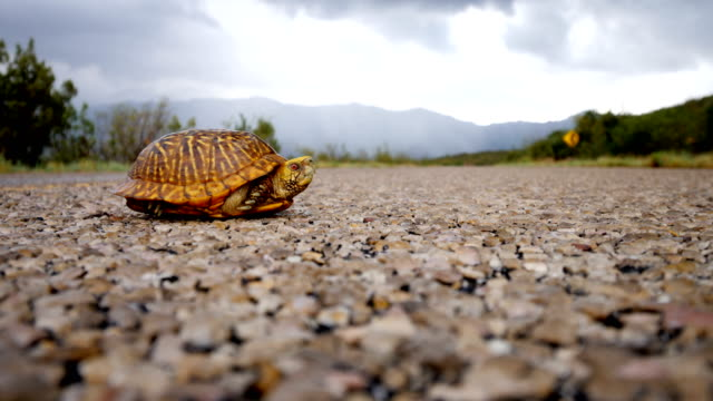 ornate box turtle crossing a road - turtle shell stock videos & royalty-free footage