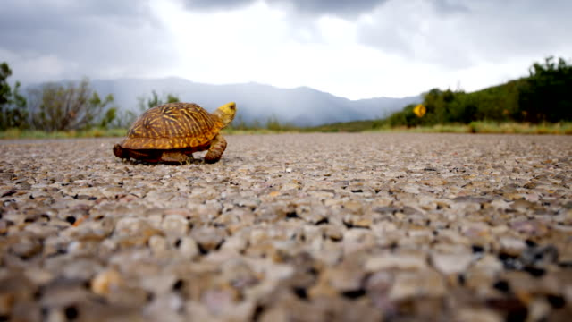 ornate box turtle crossing a road - animal shell stock videos & royalty-free footage