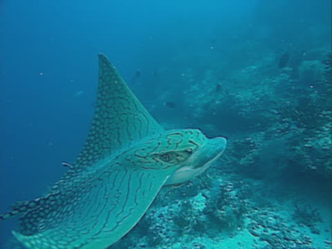 ornate eagle ray, underwater view - eagle ray stock videos and b-roll footage