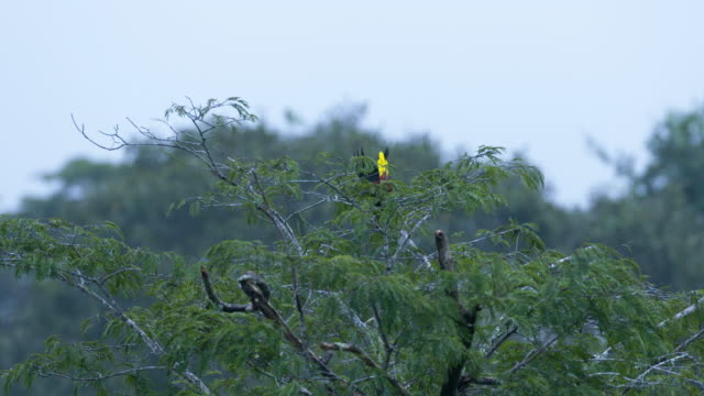 Oropendola Bird Display in Canopy Tree