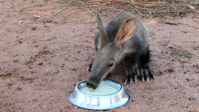 Orphaned Aardvark/African Ant bear(Orycteropus afer) drinking milk from a bowl