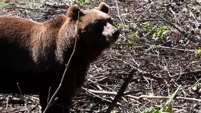 orphaned abandoned or abused croatia's brown bears that are unable to live in the wild are finding a new home in the country's only sanctuary for the... - croazia video stock e b–roll