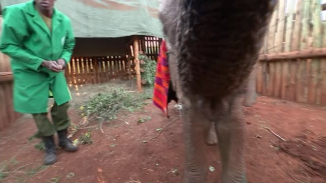 kerio update kenya ext various of kerio baby elephant orphaned by poachers being fed with bottle by keeper at david sheldrick wildlife trust rescue... - beruflicher umgang mit tieren stock-videos und b-roll-filmmaterial
