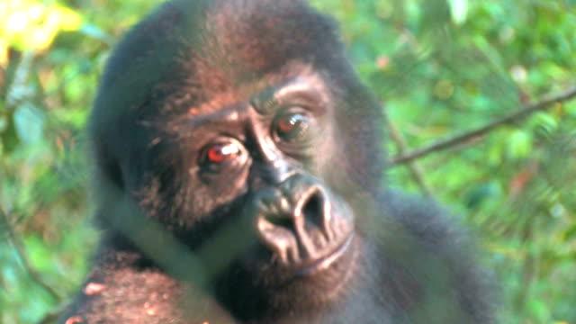 Verwaiste Baby Gorilla