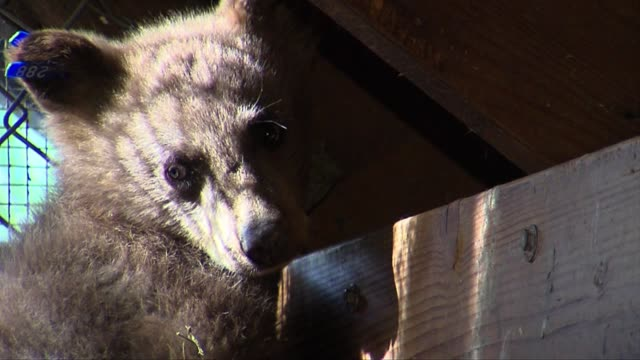 orphaned bear cub gets second chance at life on june 12 2013 in tahoe city california - bear cub stock videos and b-roll footage