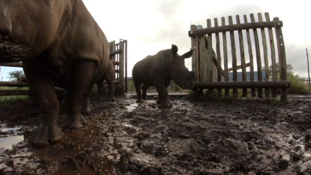 orphaned rhinos on a game reserve in south africa - föräldralös bildbanksvideor och videomaterial från bakom kulisserna