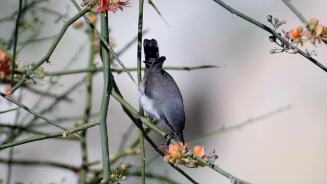 orphean warbler ,sylvia hortensis, feeding during migration in desert oasis - warbler stock videos & royalty-free footage