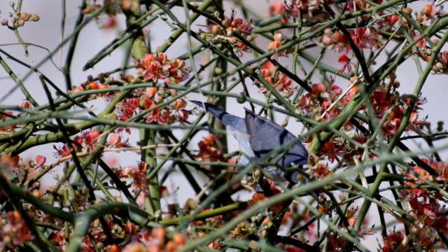 Orphean Warbler ,Sylvia hortensis, feeding during migration in desert oasis