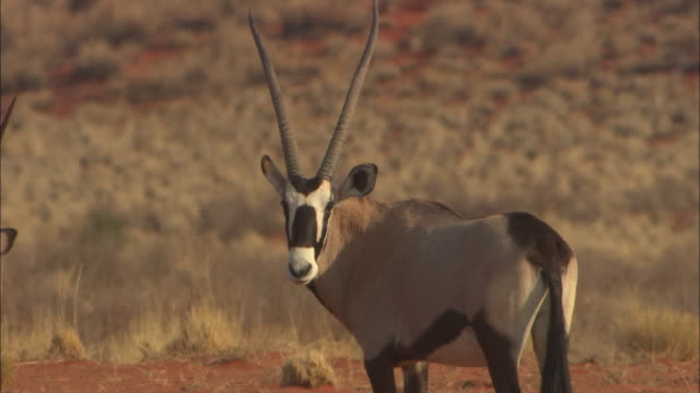 ms, oryx antelope and ostrich on plain, botswana, africa - antilope stock-videos und b-roll-filmmaterial