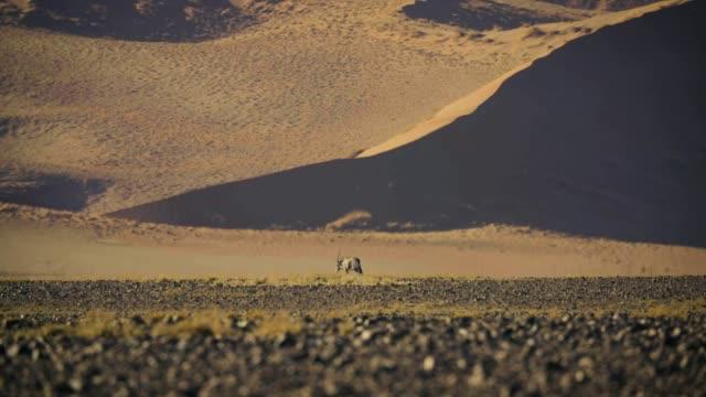 vidéos et rushes de antilope oryx marche dans le désert du namib - tempête de poussière