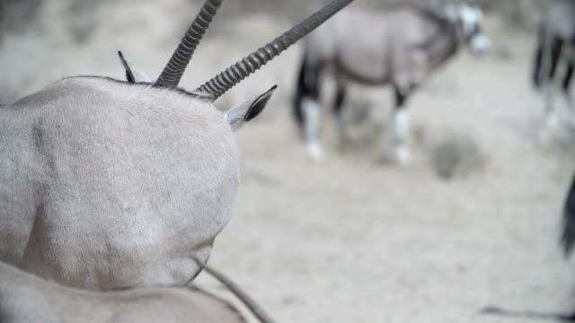 vídeos de stock e filmes b-roll de ms oryx (oryx gazella) cleaning itself / kgalagadi transfrontier park/ kgalagadi district/ botswana - cinco animais