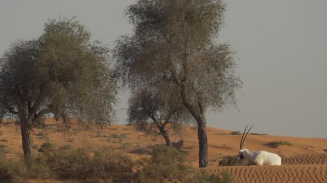 Oryx lays in desert landscape, Ras al-Khaimah