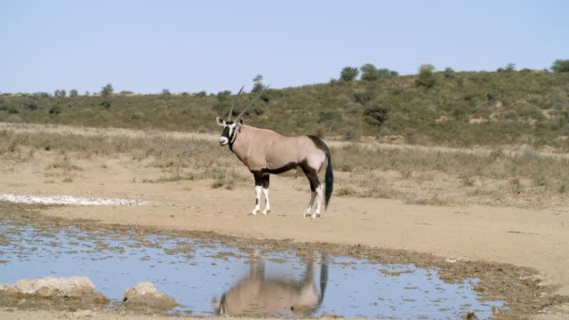 ws oryx (oryx gazella) standing by waterhole / kgalagadi transfrontier park, kgalagadi district, south africa - wasserloch stock-videos und b-roll-filmmaterial