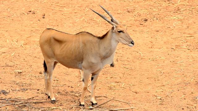 oryx - herbivorous stock videos & royalty-free footage